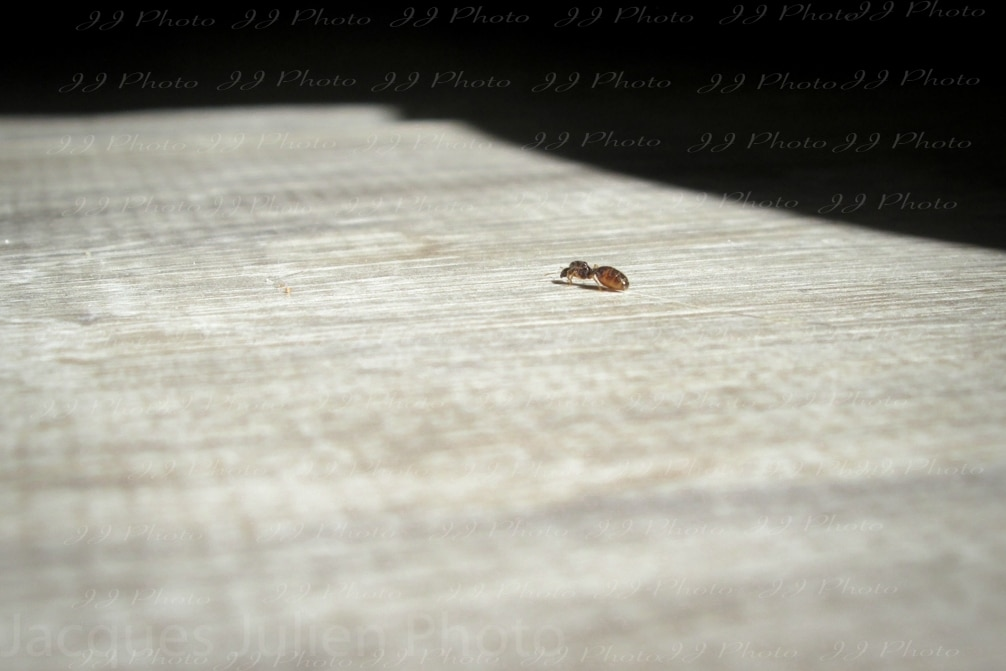 Lasius Ant insect bug photography free