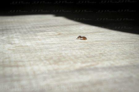 Ant (Lasius) on the floor