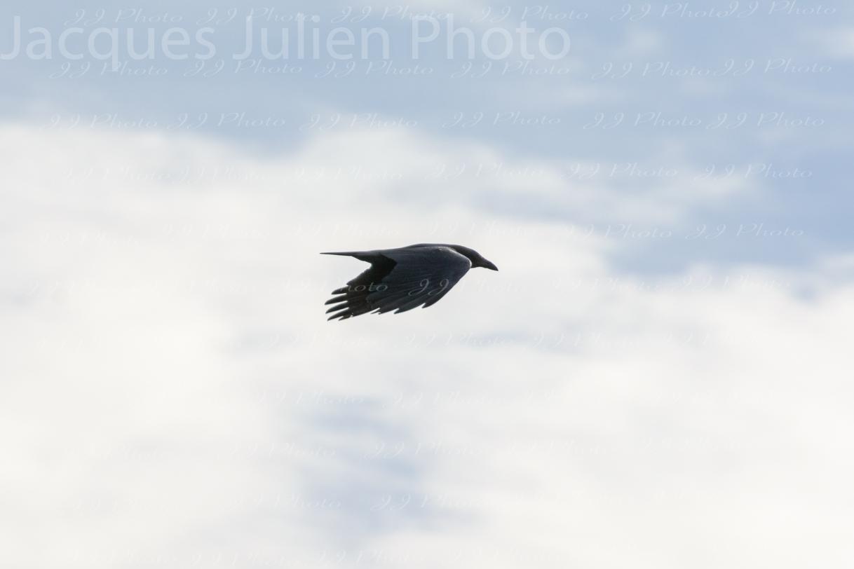 Corbeau dans le ciel Photographie