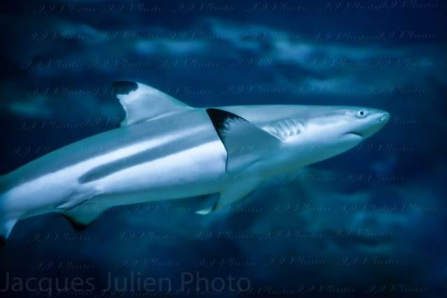 Requin à pointe noire – Stock Photos