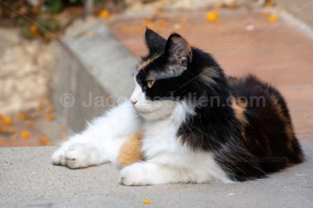 chat calico à poils longs