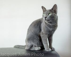 Korat cat breed : Characteristics and photos gallery