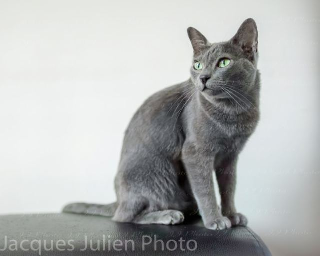 Cute grey cat posing