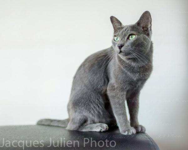 Cute grey korat cat free royalty image