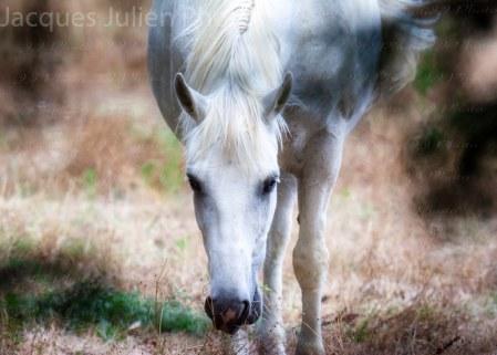 Cheval blanc – Stock Photo