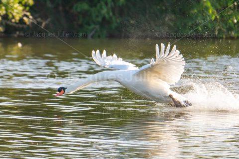 Swan flying away on a lake – Stock Photo