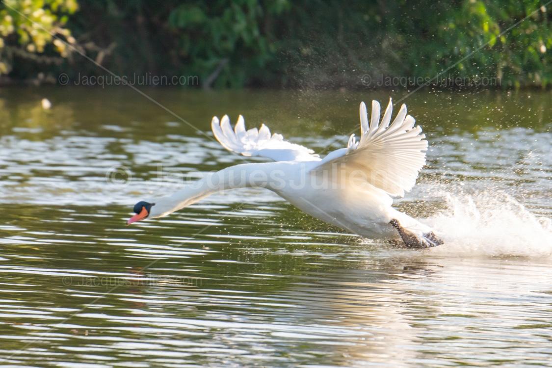 white swan bird photography