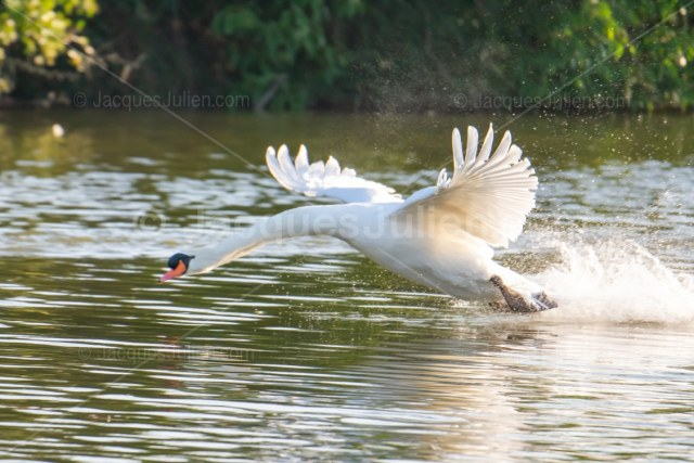 white swan bird photography