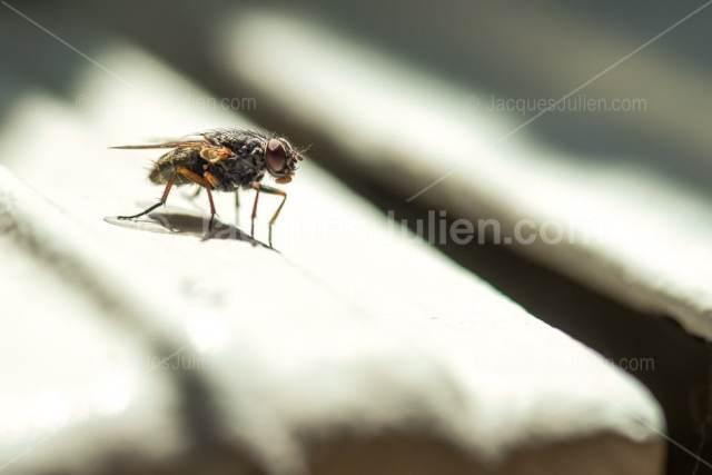vue rapprochée de mouche sarcophagidae