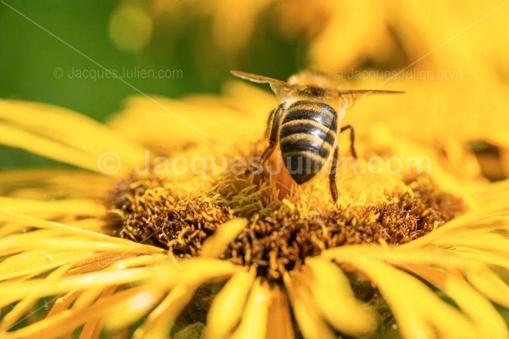 Close view bee on yellow flower