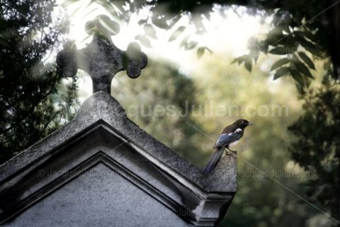 Magpie perching on a funeral chapel
