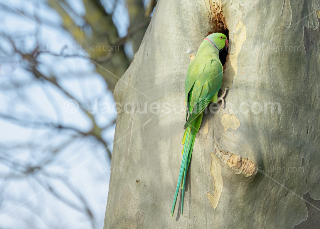 green bird on a nest in tree trunk