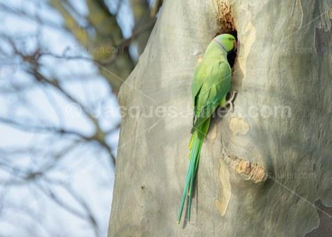 Rose-ringed parakeet bird