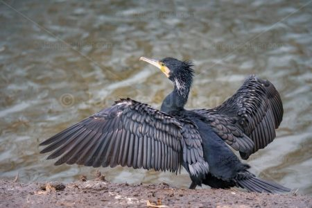 Cormorant spreads out wings