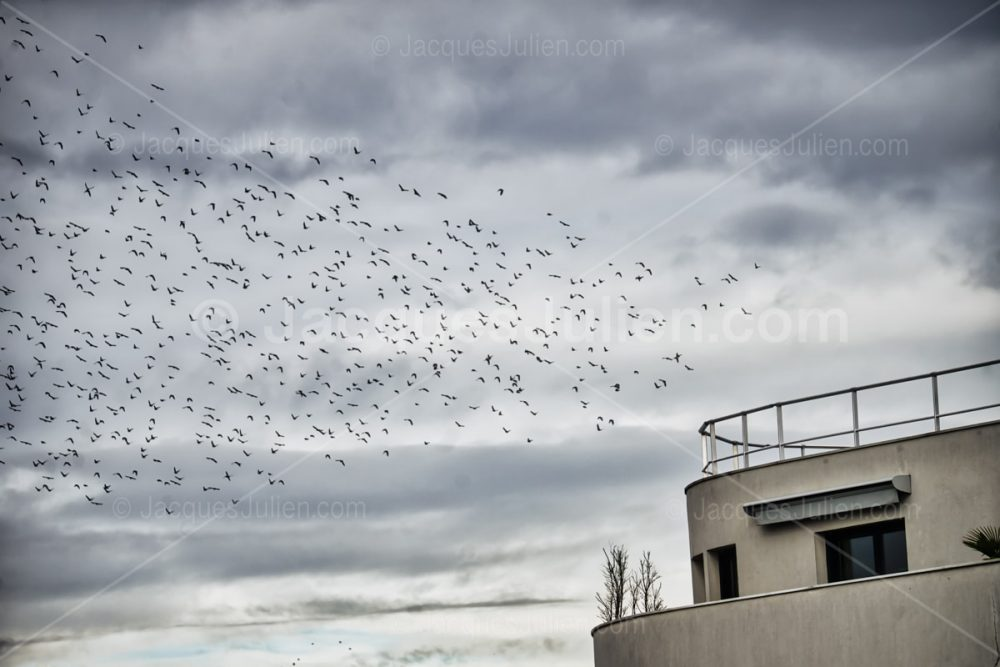 large group of starlings