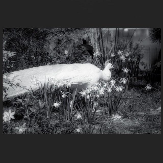 Paon blanc – Tirage photo noir et blanc