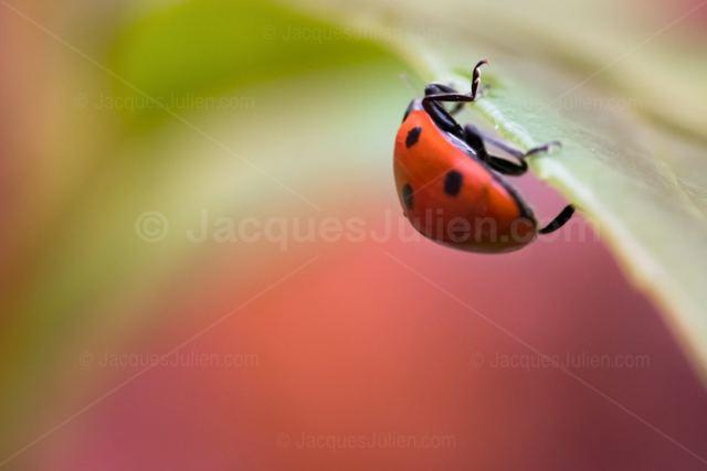 Ladybird beetle – Macro photography