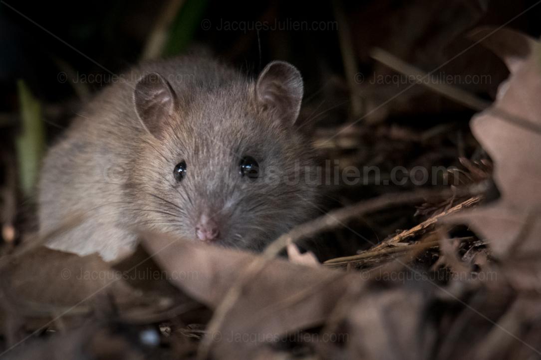 trouver photo souris sauvage