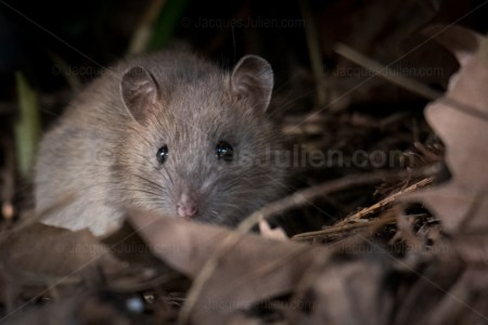 Wild Mouse HD Stock Image