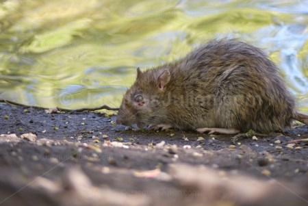 Rat brun (Rattus norvegicus) Stock Photo