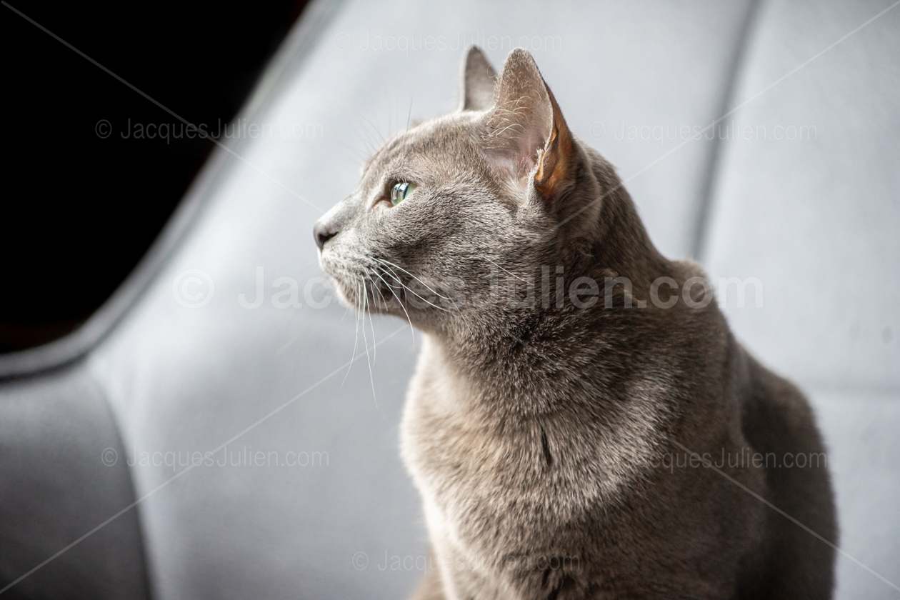 chat korat gris
