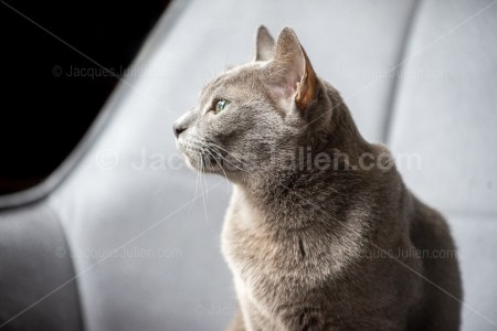Grey cat posing
