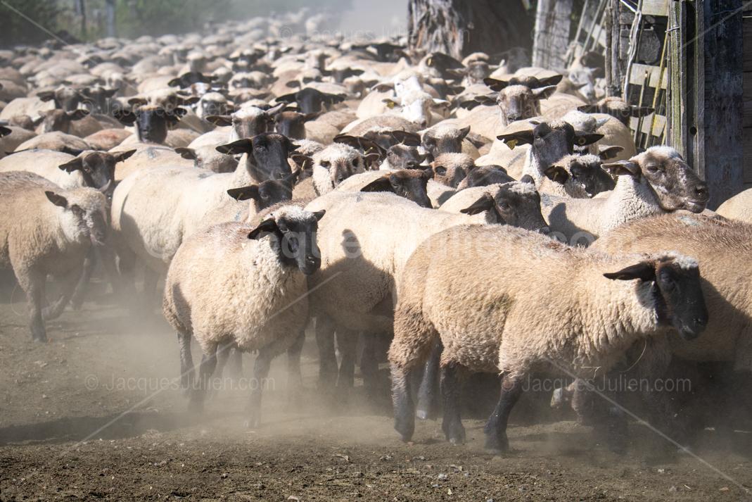 grand troupeau de brebis