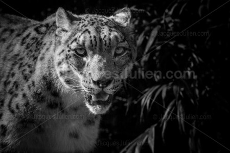 Hunting Panther – Black and White