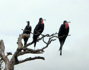 Frigatebirds at MC-2 GBraun