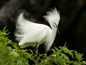 "Snowy egret in breeding plumage and colors. (Public    ""wallpaper"" photo.)"