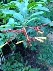 Native firebush attracts butterflies.