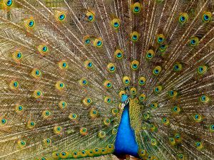Peacock showing his feathers. Public photo.