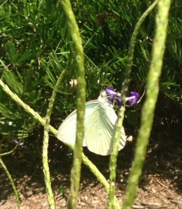 My attempt to capture an image of a Great White Butterfly in Sewall's Point Park stopping to eat along the way....