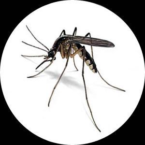 Misquito--Mosquito---Musquito----