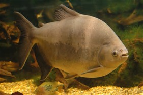 Pacu fish in an aquarium. Related to a piranha that looks somewhat similar but has sharp teeth. Public photo.