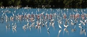 Shore birds--Florida Audubon photo.