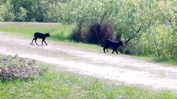 two black cubs!