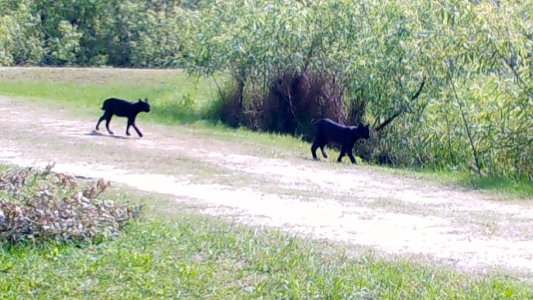 Two Black Bobcat Cubs And Mom Happily Strolling Around Western Martin County Slr Irl Jacqui Thurlow Lippisch