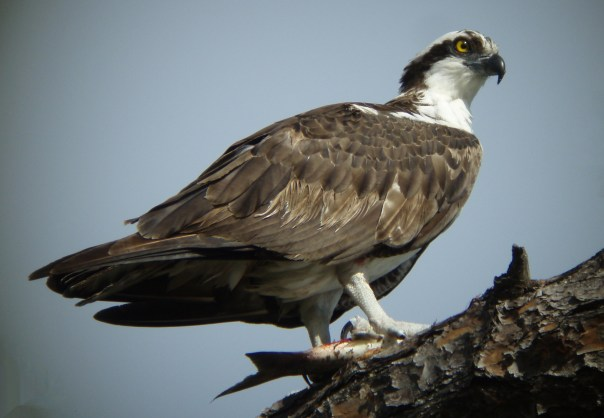 Osprey with fish GBraun.JPG
