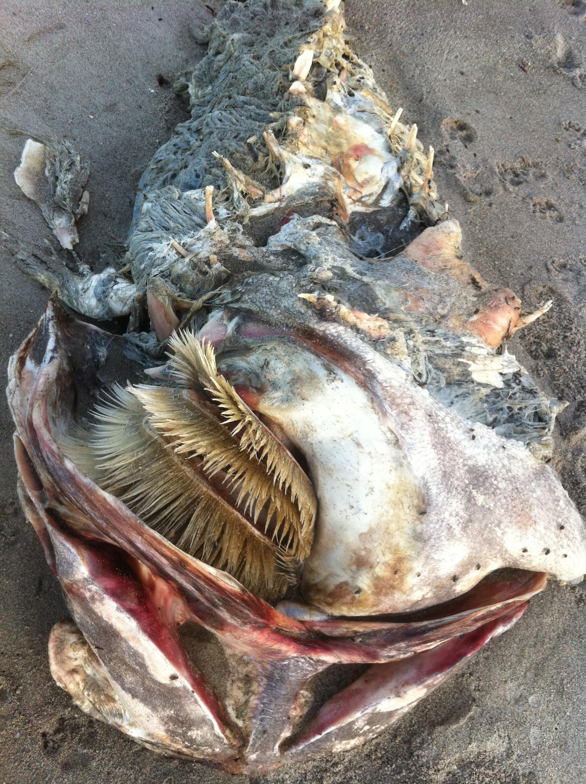Goliath Grouper In St Lucie River Jacqui Thurlow Lippisch