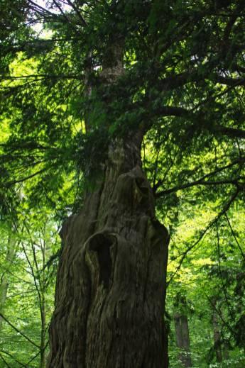 12 metrów wysokości i 292 centymetry obwodu w pierśnicy. Cis z Henrykowa Lubańskiego to najstarsze drzewo w Polsce, którego wiek szacuje się na około 1250 lat