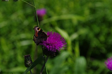 Motyle są najbardziej zaawansowaną ewolucyjnie grupą owadów. Potrafią żyć od kilku godzin do 10 miesięcy jak rusałka pawik