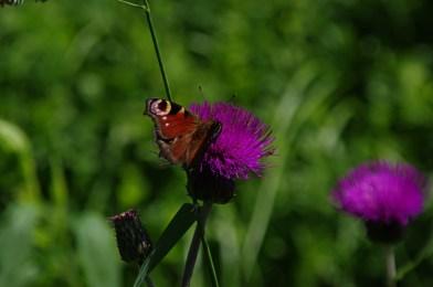 Któż nie zna tego motyla? I on też trafił w Karkonosze na przełęcz Okraj ponad 1000 m.n.pm.