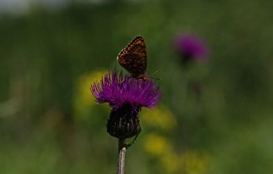 Występują dwie formy sezonowe tego motyla: wiosenna i letnia. Różnią się tłem skrzydeł