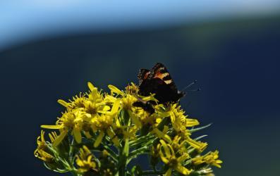 Rok 2015 został ogłoszony przez KPN Rokiem Motyli nic dziwnego, że owady również postanowiły uczcić swoje święto permanentnym eksponowaniem wdzięków we wszystkich dogodnych miejscach parku narodowego po polskiej i czeskiej stronie.