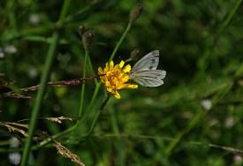 Kiedyś te motyle słynęły ze swojego zamiłowania do kapusty. Teraz widać nie gardzą nawet żółtymi kwiatami