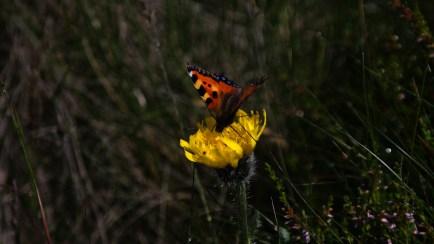 """Rok 2015 jest ogłoszony przez KPN Rokiem Motyli. Trochę więcej o tych mieszkańcach Karkonoszy można poczytać w wpisie """"Motyla łąka"""" lub na stronie: http://www.kpnmab.pl/pl/2015-motyle-karkonoszy,422"""