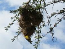 Weaver birds in action.