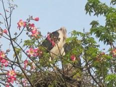 Young Maribou stork