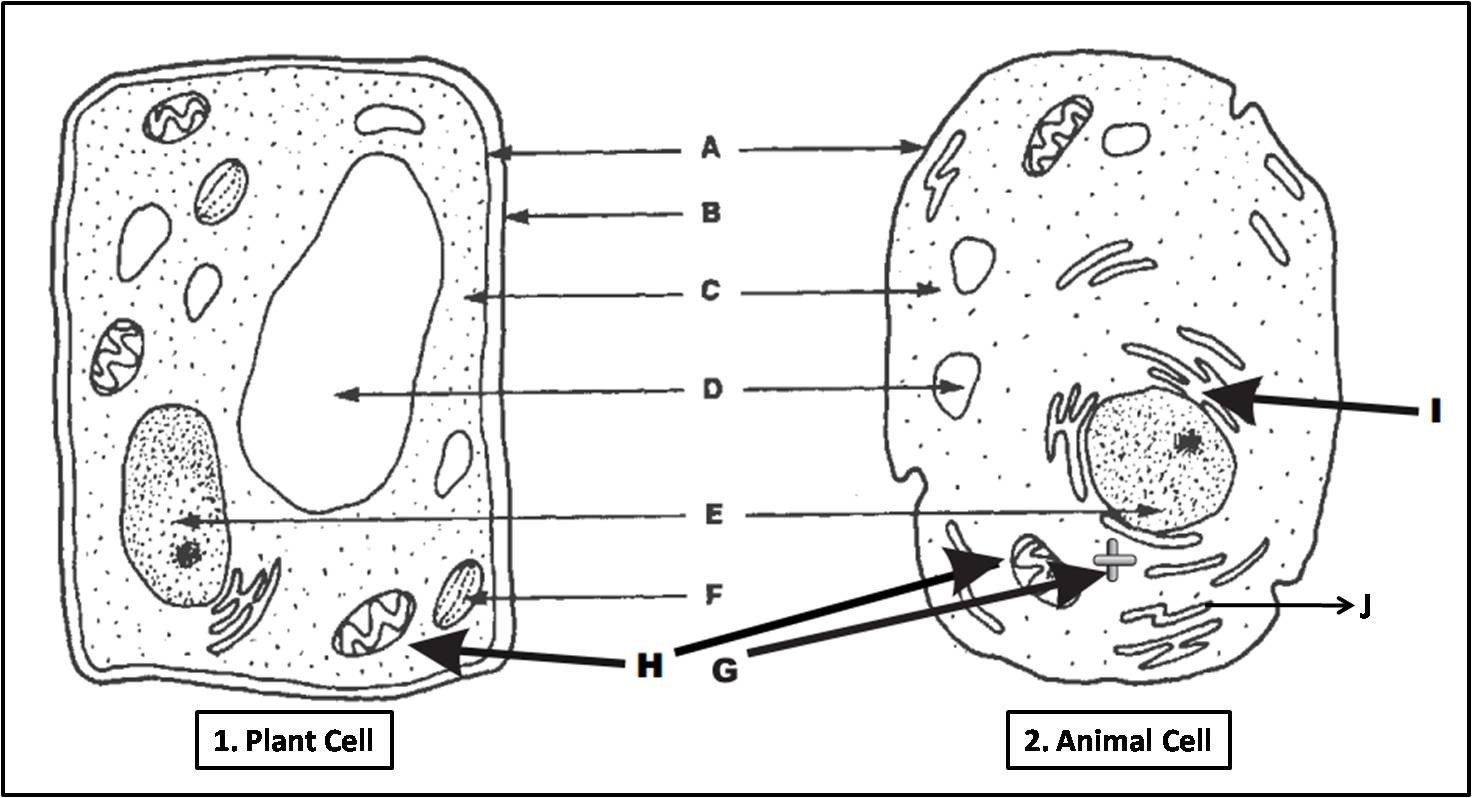 Plant Animal Cell Worksheet Template Library
